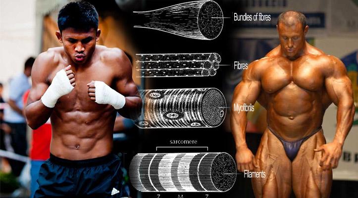 Diferencia en tipos de musculatura